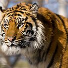 Tiger by Chiller