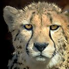 Cheetah by Chiller