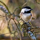 Black Capped Chickadee - Amherst Island, Ontario by Michael Cummings