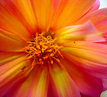 Dahlia Epicentre by reflector