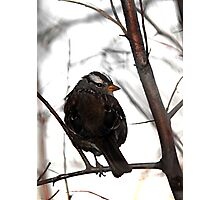 White-Crowned Sparrow at Dusk Photographic Print