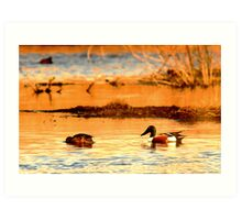 Northern Shoveler Ducks Art Print