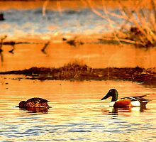 Northern Shoveler Ducks by Ryan Houston