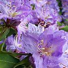 """""""Lavender Rhodies"""" by Lynn Bawden"""