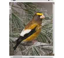 Evening Grosbeak On Pine 2 iPad Case/Skin