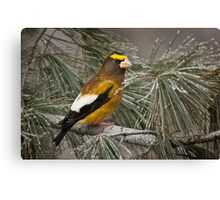 Evening Grosbeak On Pine 2 Canvas Print