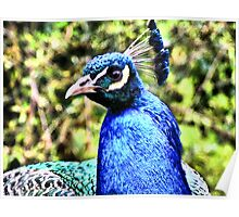 Peacock HDR Poster