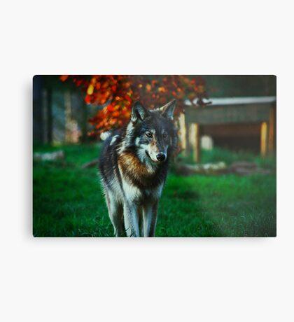 Northwestern Wolf Metal Print
