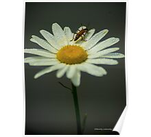 Lightning Bug on a Wet Daisy (1) Poster