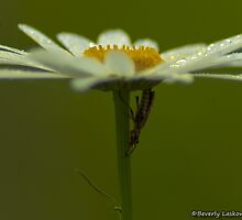 Lightning Bug on a Wet Daisy (2) by BLaskowsky