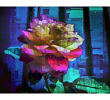A Rose of Many Colours Photographic Print