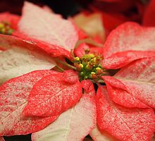 Another Variegated Poinsettia by Linda  Makiej