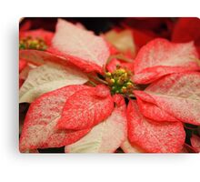 Another Variegated Poinsettia Canvas Print