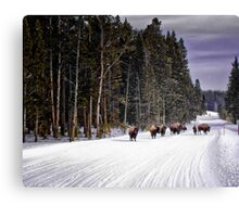 Where the Buffalo Roam - Yellowstone National Park Canvas Print