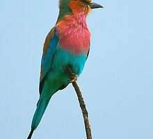 Lilac Breasted Roller by BlaizerB