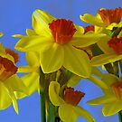 A parade of Daffodills by Steve plowman