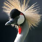 Grey Crowned Crane by ljm000