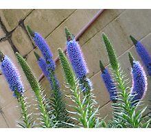 Blue Beauties Photographic Print