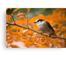 Gray Jay  Canvas Print