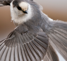 Gray Jay Take Off Sticker