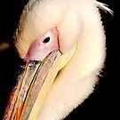 Pelican by willd