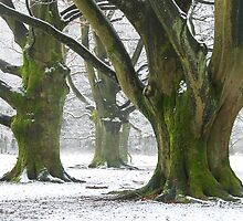 The old beech-trees again by jchanders