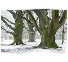 The old beech-trees again Poster
