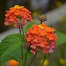 Orange, Yellow, and Pink Lantana by Scott Mitchell