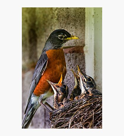 American Robin And Nest Photographic Print