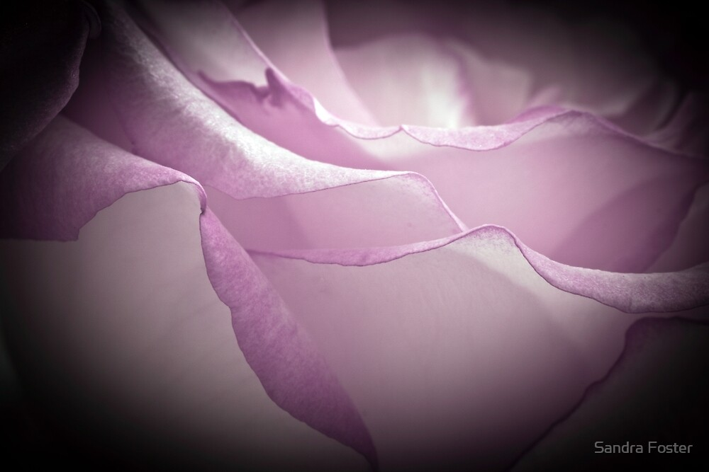 Lavender Rose - Macro  by Sandra Foster
