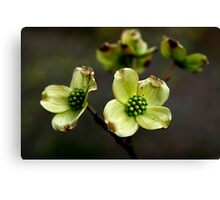 New Dogwood Blossoms Canvas Print