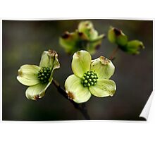 New Dogwood Blossoms Poster