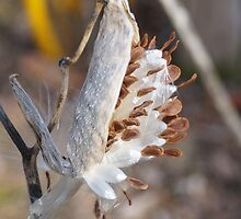 Pop goes the Milk Weed! by Holly Schimpf
