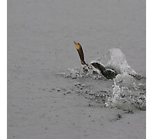 Cormorants Swimming After Diving Off Dock Photographic Print