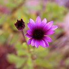 splash of purple ... by SNAPPYDAVE