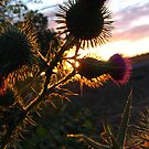 Thistle Sunset (2) by lareejc