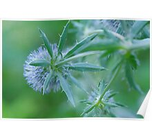 Sea Holly. Poster