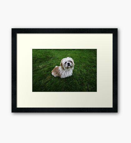 Cute Shih Tzu in the grass Framed Print