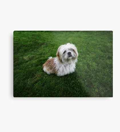Cute Shih Tzu in the grass Metal Print