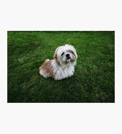Cute Shih Tzu in the grass Photographic Print