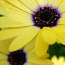 yellow daisy by picketty