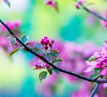 Pink apple blossom flowers by luckypixel