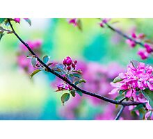 Pink apple blossom flowers Photographic Print