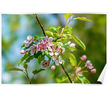 Pink apple blossom flowers Poster
