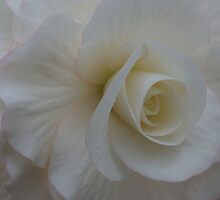 White Begonia by KJREAY
