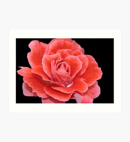 Raspberry Rose Art Print