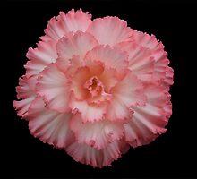 Pink Begonia by KJREAY