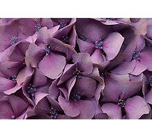 Purple Hydrangea Photographic Print