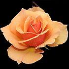 Orange Rose by KJREAY