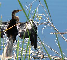 Anhinga    147 Views by Rosalie Scanlon